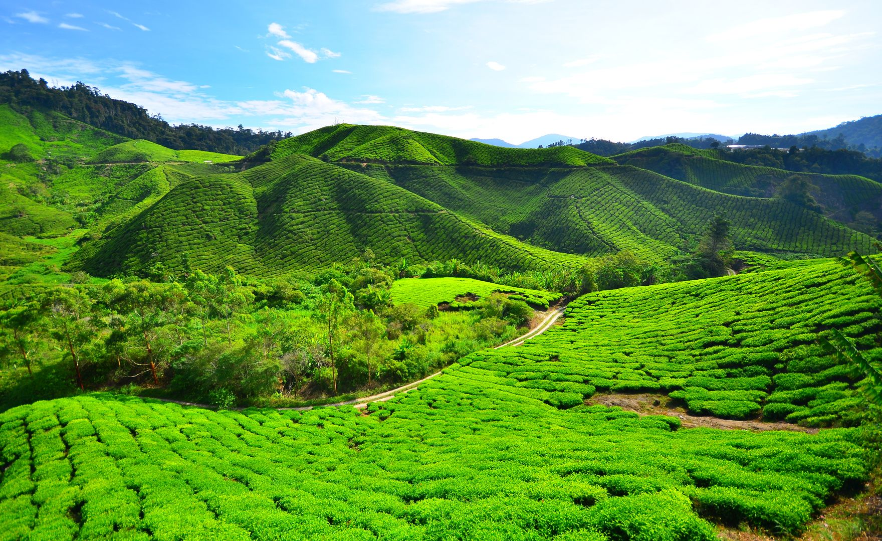 tea-plantation-fields-on-the-hills