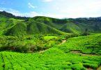 tea-plantation-fields-on-the-hills
